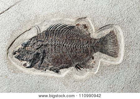 Close Up Fossil Fish