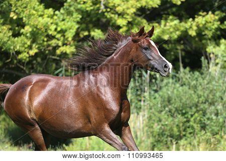 Arabian Horse Galloping Across A Green Summer Pasture