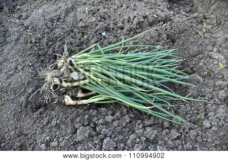 Bunch Of Green Onions On The Ground.