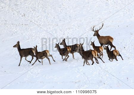 Runing Hind Of Red Deer In Snow