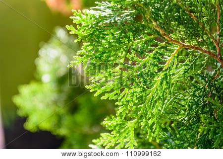 Hinoki cypress .green color tree