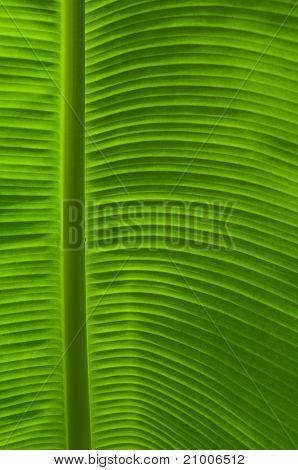 Close Up Of Banana Leaf