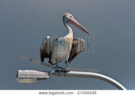 Pelican on a lamp post
