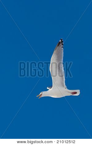 Calling herring gull flying in blue sky