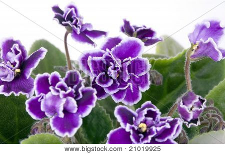 Violet kamer