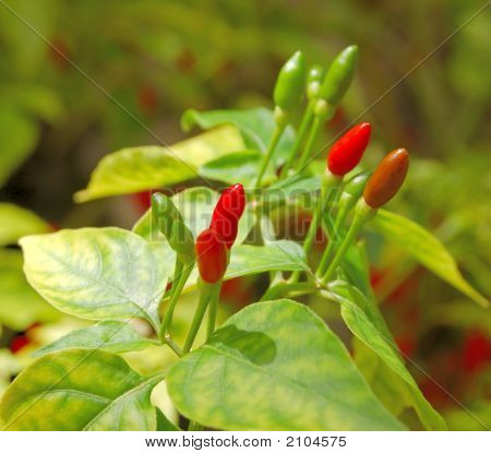 Thai Chile Peppers