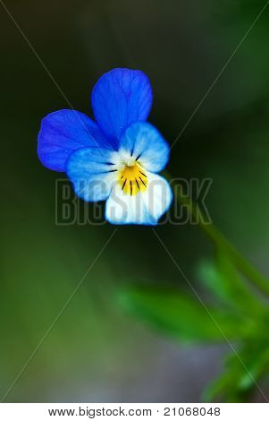 The Pansy Flower