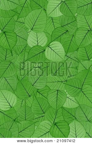 Green skeletal leaves