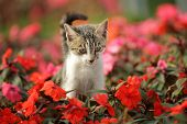 Cute cat kitty is playing in beautiful red flowers garden poster