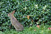 Wild Rabbit In Ohio