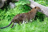 stock photo of ocelot  - jaguar on green landscape in zoo - JPG