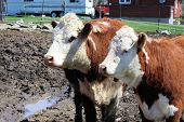 stock photo of hereford  - A pair of Hereford cows standing close together in a small enclosure - JPG