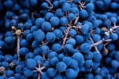 Baskets Of Blue Grapes Recently Harvested. Blue Grapes Background Of Freshly Picked Grapes Wine Grap poster