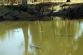 foto of dogon  - Horizontal image of the scared crocodiles in a lake in Dogon country in Mali - JPG