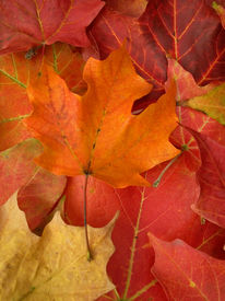 picture of fall leaves  - fallen leaves in autumn - JPG
