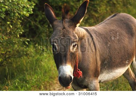 Donkey With Red Rope
