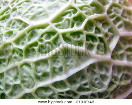 Close up Savoy Cabbage