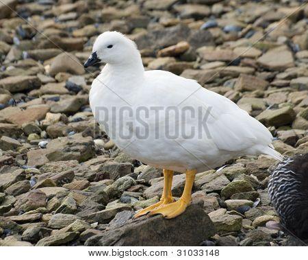 Greater Kelp Goose.