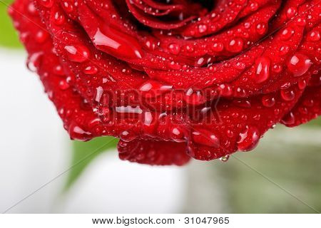 Close up beautiful rose background with water drops