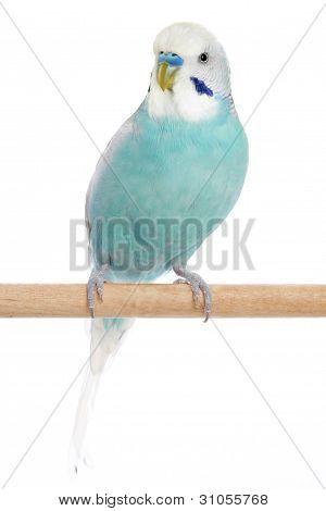 Budgerigar Sitting On A Perch