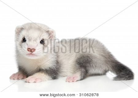 Baby Ferret On A White Background