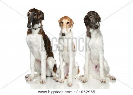 Russian Borzoi Puppies (5 Months)