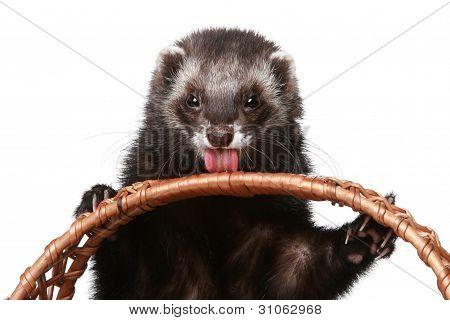 Ferret Licks Wattled Basket