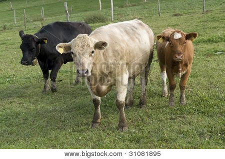 Three Colored Cows On A Meadow