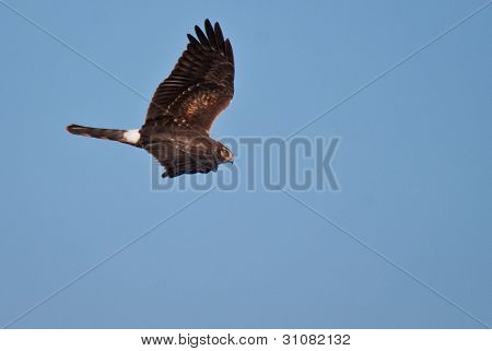Fêmea Northern Harrier, voando em um céu azul