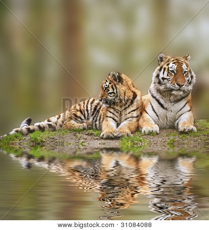 Beautiful Image Of Tigress Relaxing On Grassy Hill With Cub Reflection In Water