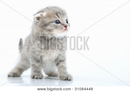 Beautiful Young Scottish Flod Ear Kitten