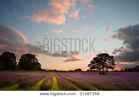 Beautiful Vibrant Colorful Summer Sunest Over Lavender Field