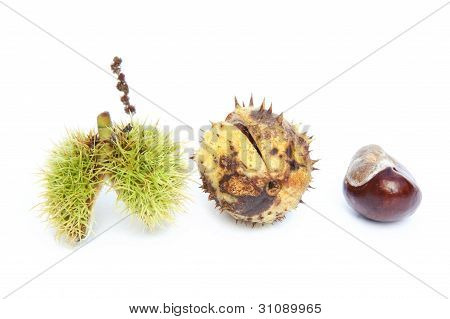 Excellent Macro Conker Horse Chestnut Isolated On White Background