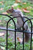 Cute Brave Curious Eastern Gray Squirrel, Sciurus Carolinensis, With Bright Black Eyes And Fluffy Ta poster