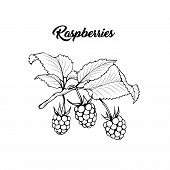 Raspberry Branch Black And White Vector Illustration. Aromatic Berries On Twig Engraved Drawing. Jui poster