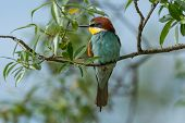 Beautiful Nature Scene With European Bee-eater (merops Apiaster). Wildlife Shot Of European Bee-eate poster