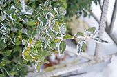 A Branch Of Evergreen Boxwood With Oval Green Leaves Covered With White Snow On A Sunny Spring Day poster