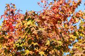 Maple Leaf With Clear Blue Sky., Three Maple Leaves Have Changed Color In Fall. poster