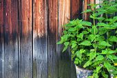 Stinging Nettle Growing In A Steel Bucket By The Weathered Wooden Wall. poster