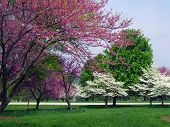 stock photo of dogwood  - White and pink dogwood trees in full springtime bloom - JPG