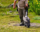 Bird Trainer Wearing A Bird Glove And Feeding A Vulture, Wild Bird Entertainment Show, Popular Anima poster
