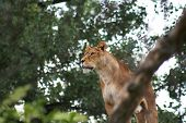 foto of semi-arid  - Close up of a nice African lioness - JPG