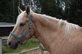Beige Horse With White Mane On The Ranch. Portrait Of Beautiful Horse With Golden Mane. poster