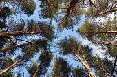 Bottom View Of Tall Old Trees In Evergreen Primeval Forest. Blue Sky In Background. poster