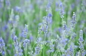 Lavender Or Lavendula Evergreen Spicose Field Flowers With Blue And Purple From The Family Lamiaceae poster