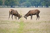 stock photo of jousting  - Two red deer stags antler jousting in filed in Autumn Fall - JPG