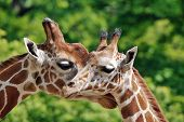 stock photo of dromedaries  - The giraffe  - JPG