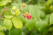 Ripe Raspberry In The Fruit Garden. Ripe Red Raspberries On The Bush. Selective Focus On The Berry.. poster