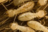 image of termite  - Several carpenter eastern subterranean termites on wood - JPG