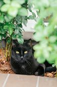 Black Cat With Yellow Eyes Lying Near The Rose Bush In The Garden. Adorable Feline Shot Outdoor poster